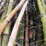Green Bamboo Trees in Forest