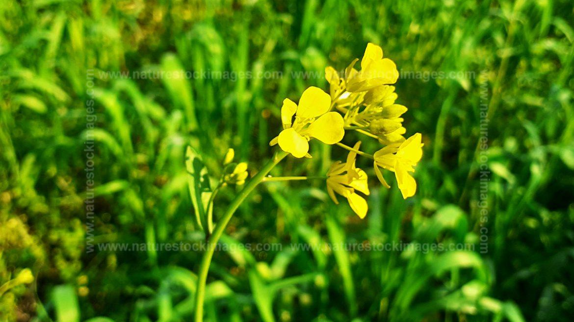 Green Leaves Wheat With Yellow Mustred