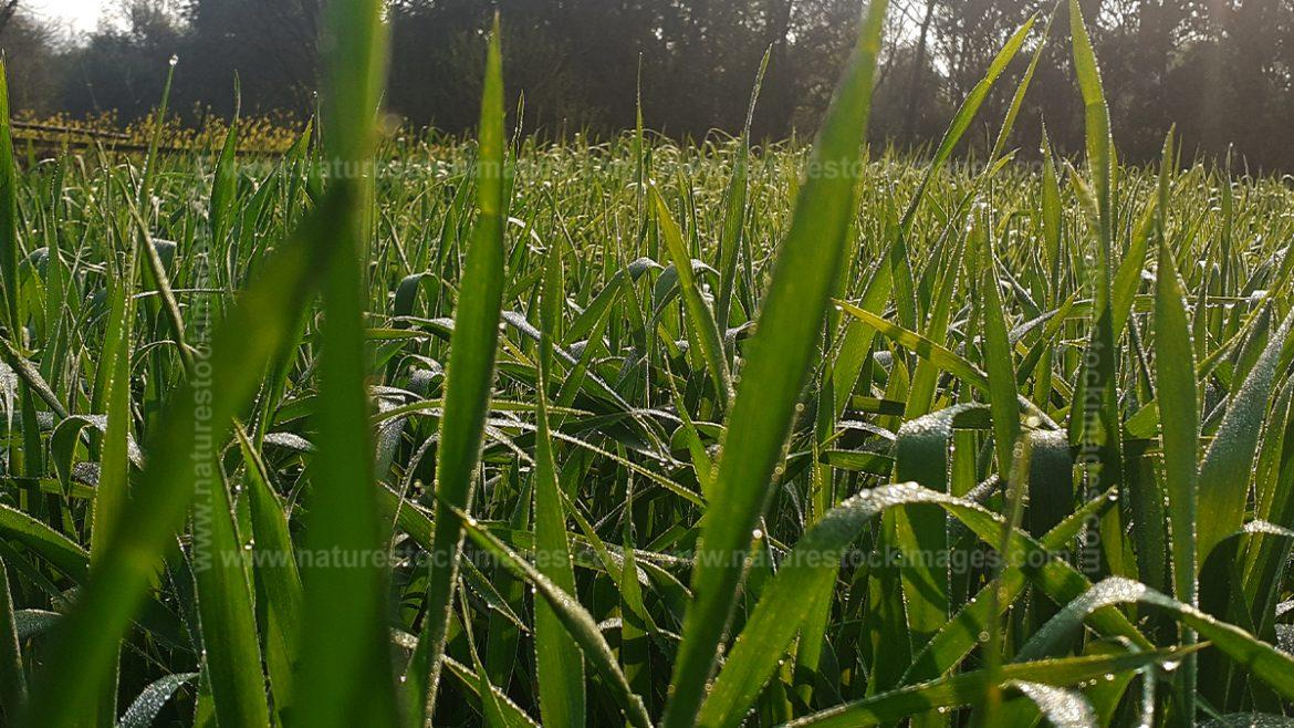 Morning Wheat View