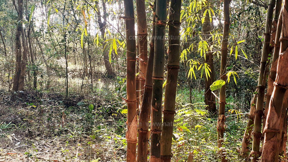 The Bamboo Trees
