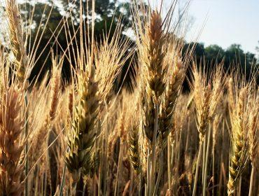 Wheat Plants Before the Harvest