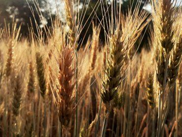 Wheat Plants Before the Harvests