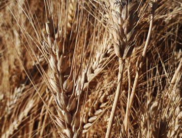 Wheat Spikes Dry