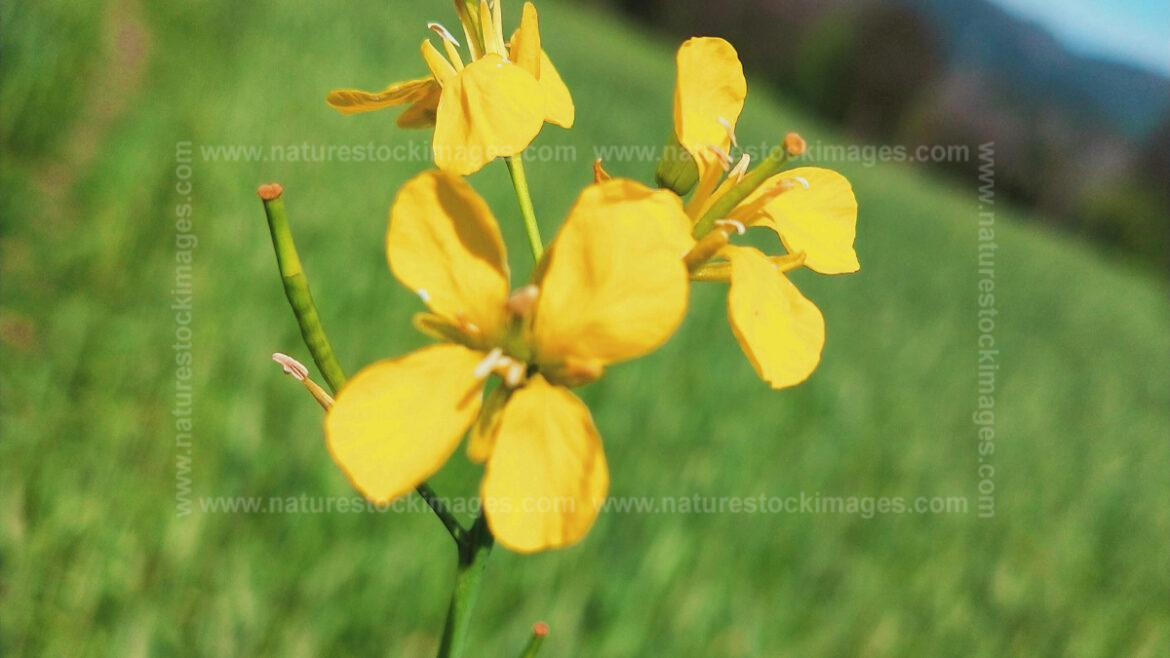 Mustard Greens Plant With Flower